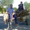 Between buckling calves and donkey carts