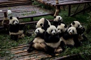 Die Pandaforschungs- und Aufzuchtstation bei Chengdu