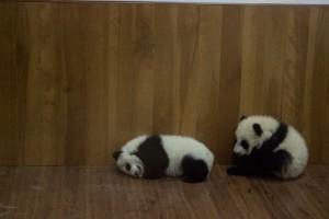 El Centro de Procreación del Panda Gigante en Chengdu