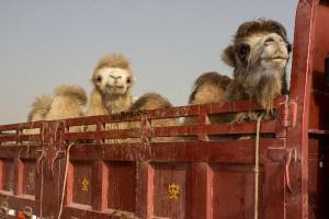 Tiermarkt in Kashgar