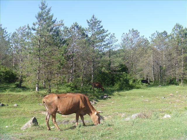 A Georgian Street Cow
