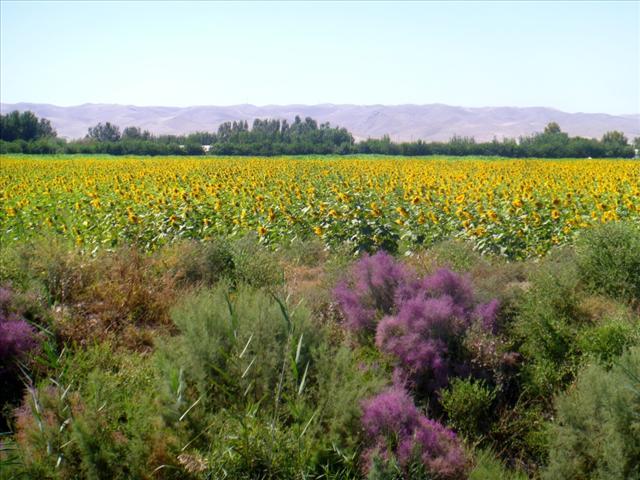 Sunflower fiels everywhere