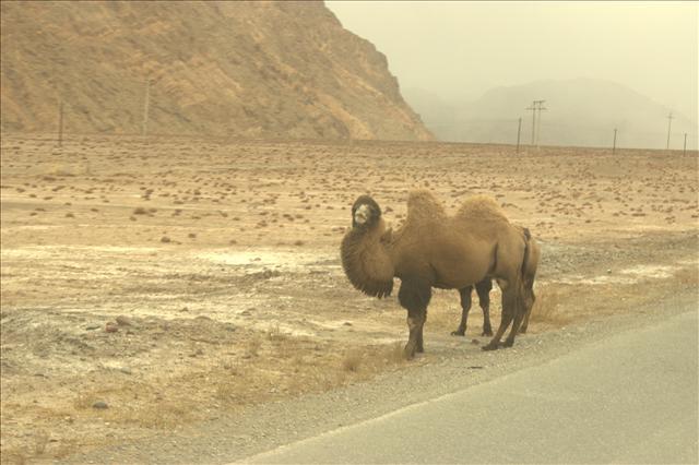 Auf dem Weg zur letzten Passkontrolle entdecken wir wilde Kamele. So gehört sich das doch auf der Seidenstraße!