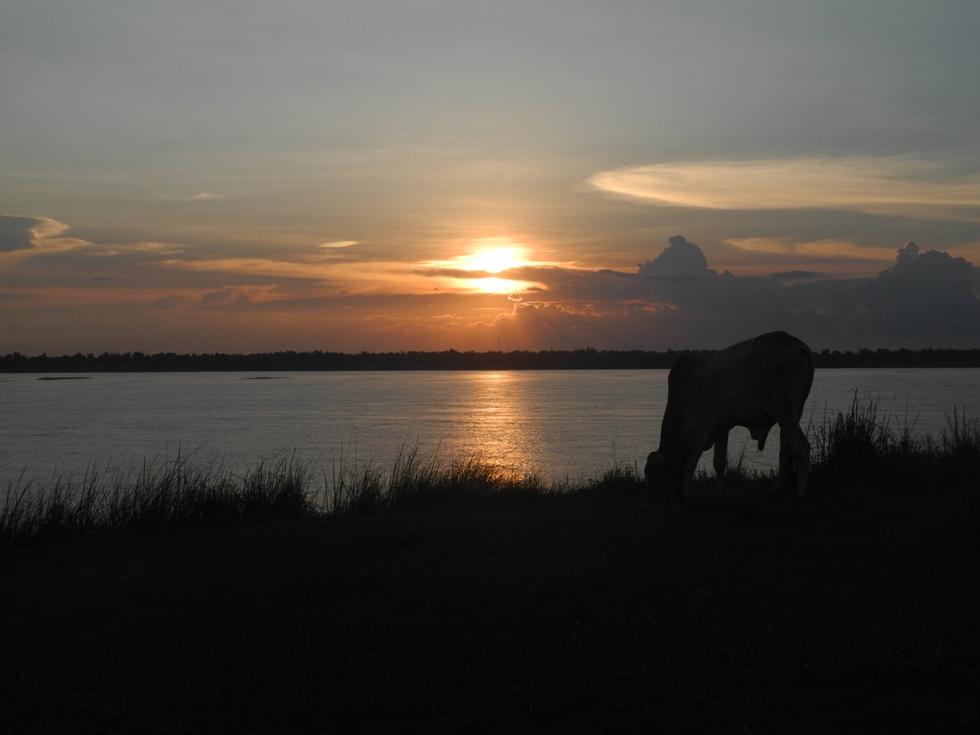 An unserem letzten Abend am Mekong schwimmen wir in Prek Achi mit den Wasserbüffeln.
