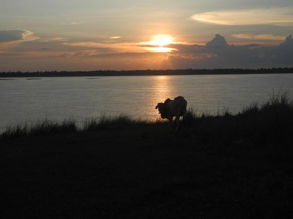 Eine Kuh am Mekongufer