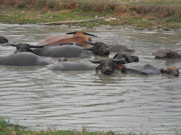 Wiederkäuende Wasserbüffel