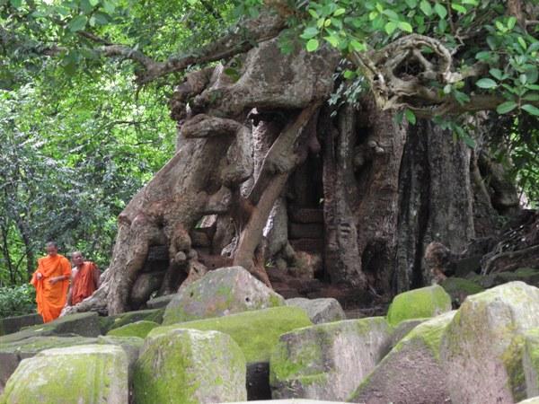 Riesige Bäume nehmen die Ruinen in ihre Obhut. Sie müssen regelmäßig gestutzt, aber dürfen nicht entfernt werden, da in beiden Fällen die Ruinen zusammenzufallen drohen.