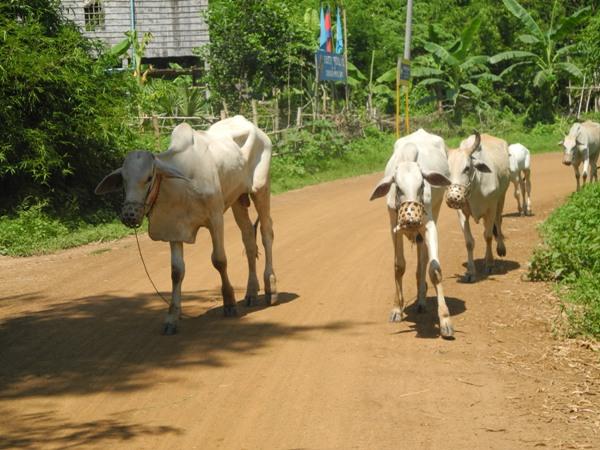 Freilaufende Kühe in kambodscha