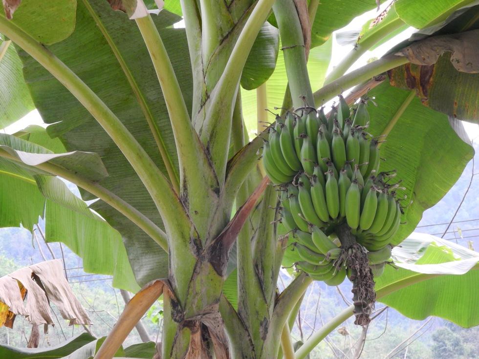 Banana_18 122