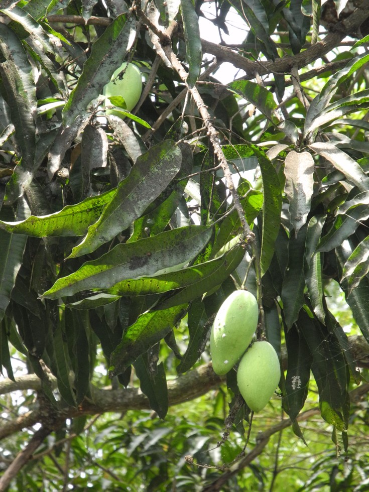 Green Mangos on the tree