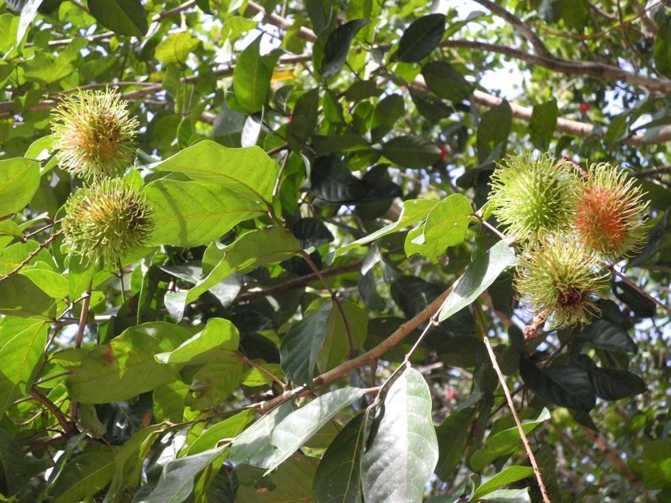 Rambutan on a tree
