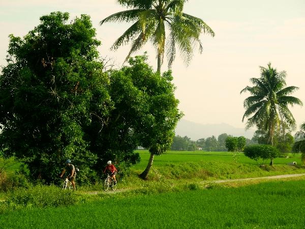 Cycling Kedah's paddy fields