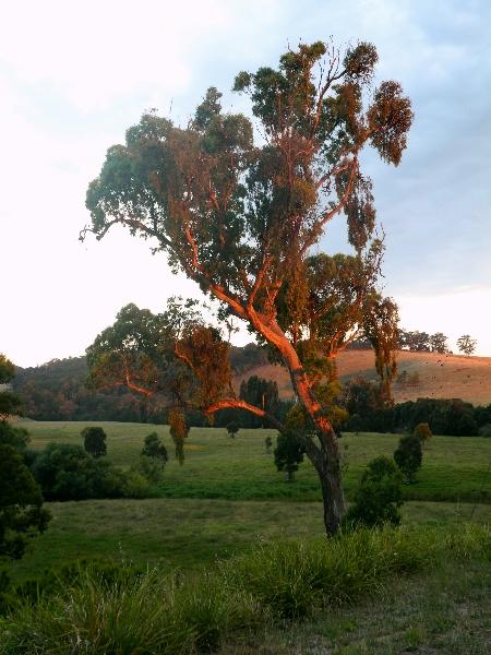 Australischer Baum bei Sonnenuntergang