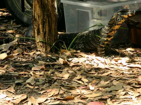 big lizard
