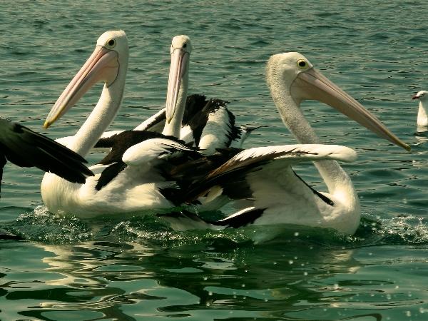 Pelicans in Merimbula
