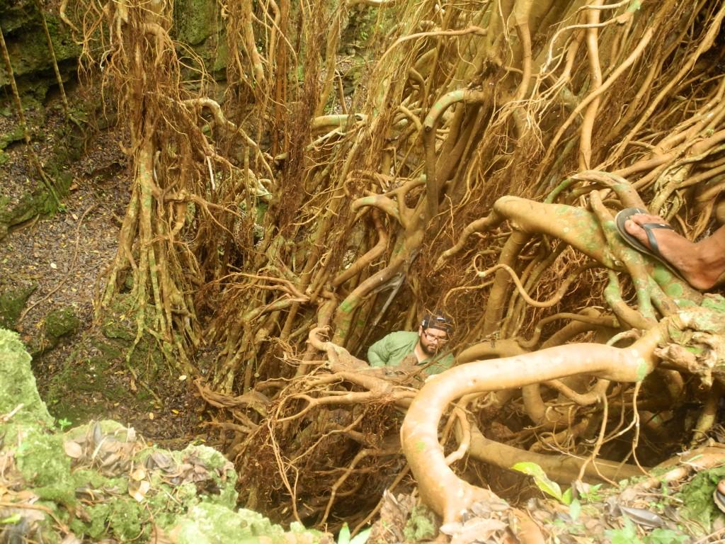 Adventure Backpacking in Tonga: climbing an Ovava tree