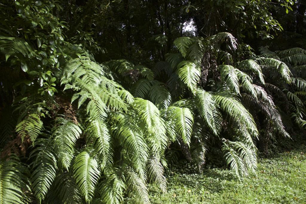 Fern Ferns Ferns