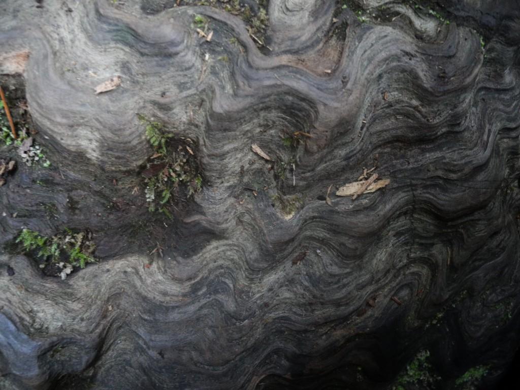 Redwood closeup