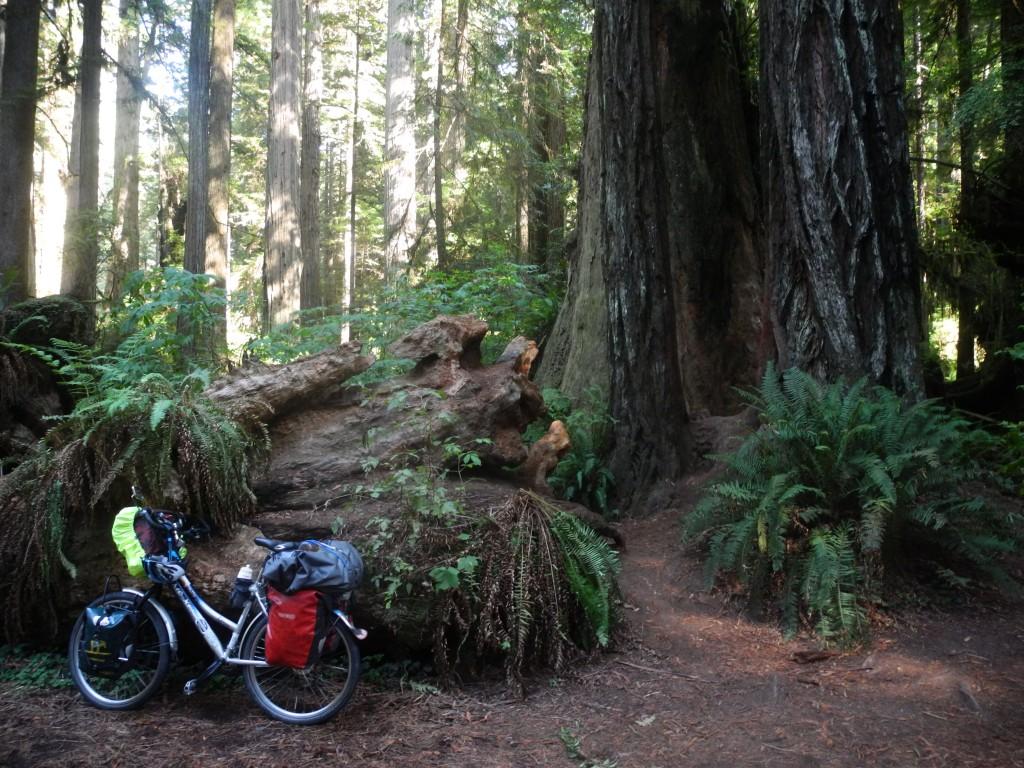 Big old redwood