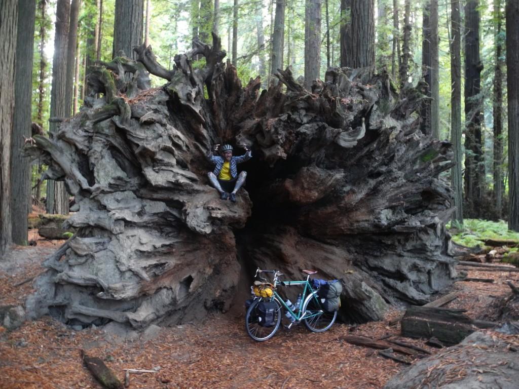 Huge redwood tree