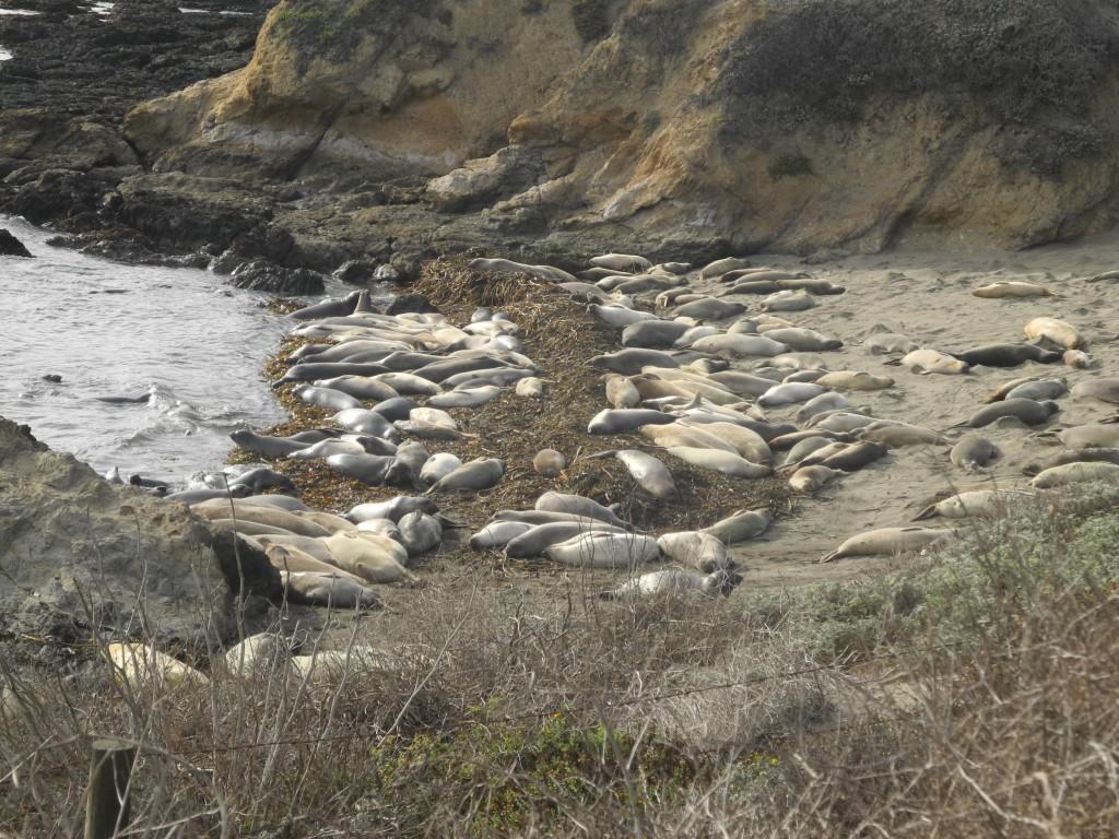 Elephant Seal Colony in California