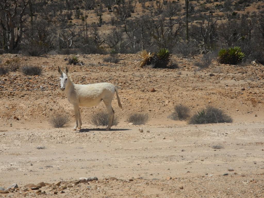 White wild donkey