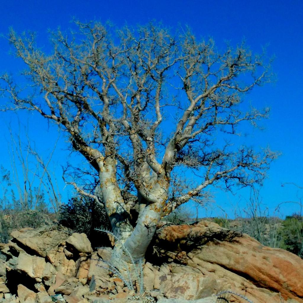 Torote / Elephant Tree