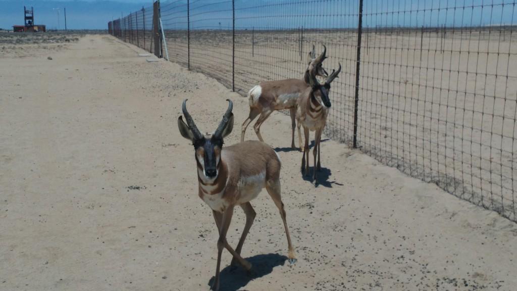 American Antelopes