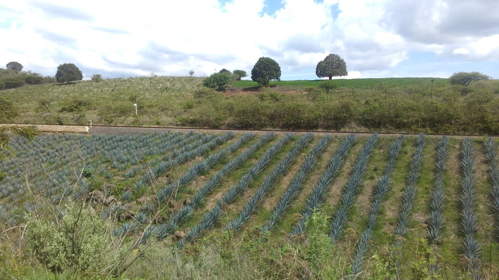 Agave azul will soon be Tequila